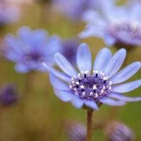 フェリシアの花言葉|種類や品種、花の特徴は?の画像