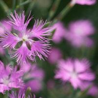 カワラナデシコの花言葉|花の特徴や名前の由来、見頃はいつ?の画像