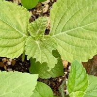 エゴマ(荏胡麻)の花言葉|葉の効能や栄養、花の特徴は?の画像