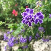 デュランタの花言葉|人気の種類や品種、花の特徴は?の画像