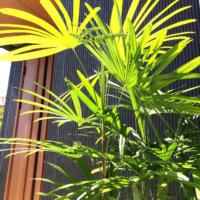 シュロチクの花言葉|特徴や風水、おすすめの置き場所は?の画像