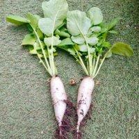 ダイコン(大根)の栽培・育て方|種まきの方法は?間引きや収穫時期はいつ?の画像