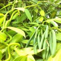 バニラの花言葉|香りや花の特徴、種類はある?の画像