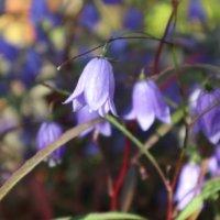 イワシャジンの花言葉|由来や種類、花の特徴は?の画像