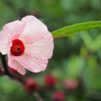 ローゼルの花言葉|花や実の特徴、効能は?の画像