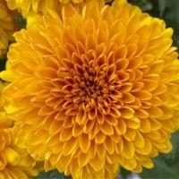 ピンポンマムの花言葉|種類や品種、花の特徴は?の画像