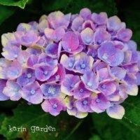 冬まで咲く?秋色アンティークにも染まる四季咲きアジサイとは?の画像