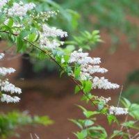 ウツギの花言葉|種類や花の特徴、由来は?の画像