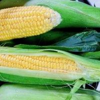 トウモロコシの育て方|種まき〜発芽までの日数は?プランター栽培もできる?の画像
