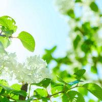 オオデマリ(大手毬)の花言葉|花の特徴や見頃の時期は?の画像