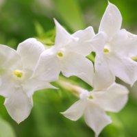 ハゴロモジャスミンの花言葉|種類や花の特徴、香りは?の画像