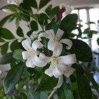シルクジャスミン(ゲッキツ)の花言葉|花や実も楽しめる?特徴などもご紹介の画像