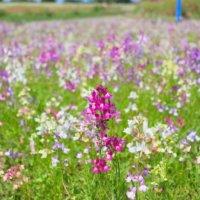リナリア(姫金魚草)の花言葉|色別の意味や由来は?種類、花の季節は?の画像
