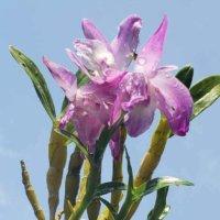 デンドロビウムの花言葉|色別の意味や由来は?人気の種類・品種はどれ?の画像