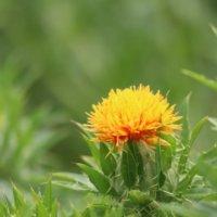 ベニバナ(紅花)の花言葉|花の特徴や効能、種類は?の画像
