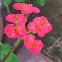 ハナキリンの花言葉|種類や花の特徴、風水効果がある?の画像