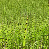 トクサの花言葉|特徴や使い方、種類や品種は?の画像