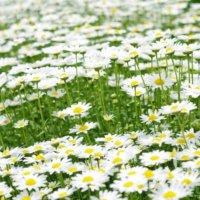 ノースポールの花言葉|花の特徴や香り、種類や品種は?の画像