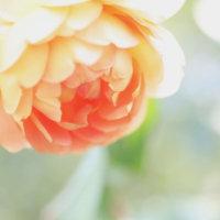 バラの葉の変色は夏バテ症状かも!秋に咲かすための暑さ対策とは?の画像