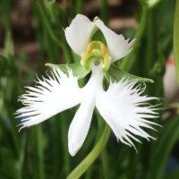 サギソウ(鷺草)の花言葉|花の特徴や、由来は?の画像