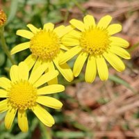 特定外来種の花一覧|栽培は違法?見つけたらどうする?の画像