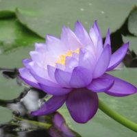 睡蓮(スイレン)の花言葉|色別の意味は?花の特徴や種類・品種は?の画像