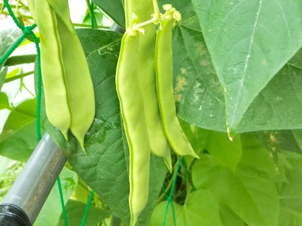 インゲン(さやいんげん)の育て方|種まきから収穫までの日数は?の画像