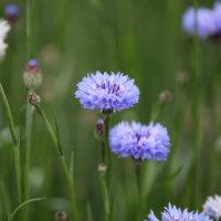ヤグルマギク(矢車菊)の花言葉|花の特徴や種類、見頃の時期は?の画像