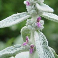ラムズイヤーの花言葉|花の特徴や種類、品種は?の画像
