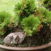 イワヒバの花言葉|種類や由来、特徴は?の画像