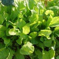 ルッコラの花言葉|花や葉の特徴や由来、効能は?の画像