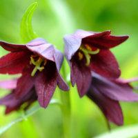 黒百合(クロユリ)の花言葉|花の特徴や、見頃の時期は?の画像
