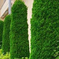 コニファーの剪定|時期や丸い樹形にする方法は?茶色く枯れるのは剪定のせい?の画像