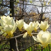 モクレン(マグノリア)の花言葉|種類、香りや花の特徴は?の画像