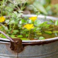 水面に凛と咲く🌺涼しげで幻想的な水生植物を水鉢で育ててみよう!の画像