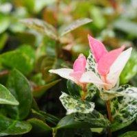 ハツユキカズラの花言葉|種類や由来、花の特徴は?の画像