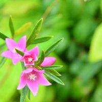 クロウエアの花言葉|種類や花の特徴、見頃の時期は?の画像