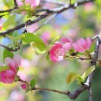 カリンの花言葉|実や花の特徴、効能は?の画像