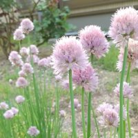 チャイブの花言葉|特徴や効果、効能は?の画像