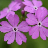 サクラソウ(桜草)の花言葉|種類や花の特徴、見頃の時期は?の画像