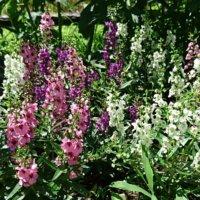 アンゲロニアの花言葉|種類や由来、花の特徴は?の画像