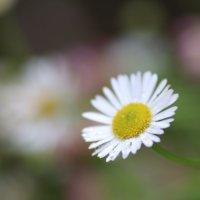 エリゲロンの花言葉|種類や由来、花の特徴は?の画像