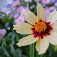 コレオプシスの花言葉|種類や花の特徴、ワイルドフラワーでおすすめ?の画像