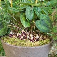 カンアオイの花言葉|種類や由来、花や葉の特徴は?の画像