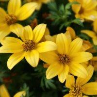 ビデンスの花言葉|花の特徴や由来、種類は?の画像
