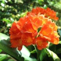 君子蘭(クンシラン)の花言葉|種類や由来、花の特徴は?の画像