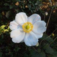シュウメイギク(秋明菊)の花言葉|種類や見頃の時期、花の特徴は?の画像