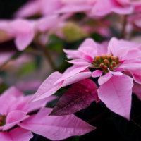 プリンセチアの花言葉|花の特徴や種類、ポインセチアとは仲間?の画像