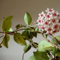 ホヤの花言葉|種類や由来、花の特徴は?の画像