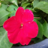 インパチェンスの花言葉|種類や花の特徴、寄せ植えがおすすめ?の画像